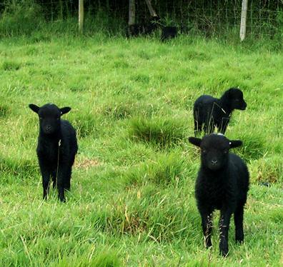 Tres corderos negros de Ouessant